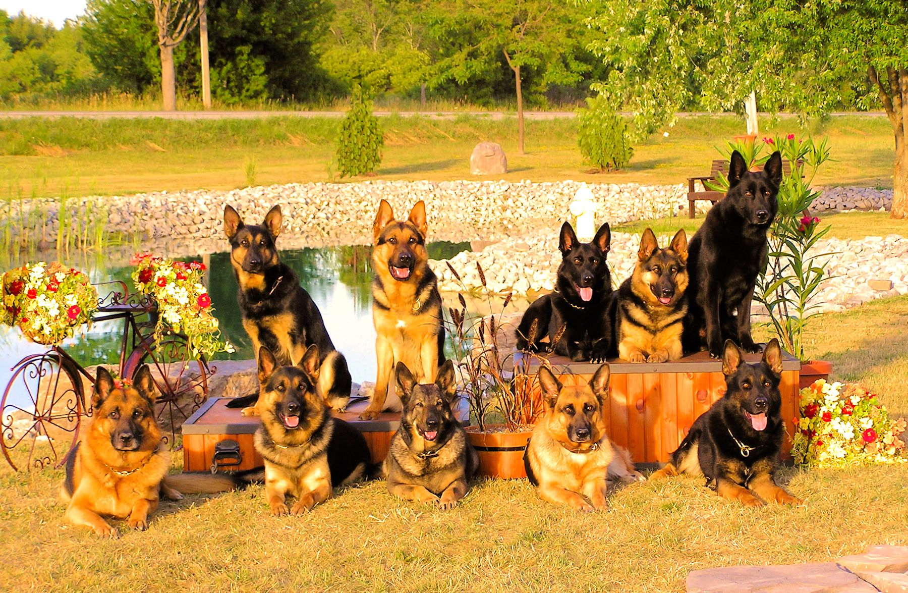 german shepherd puppies in ontario, top dog trainer, training
