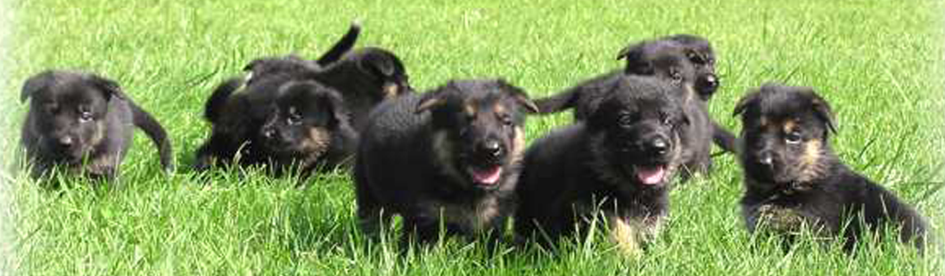 welcome to lucescu kennels truly versatile german shepherds